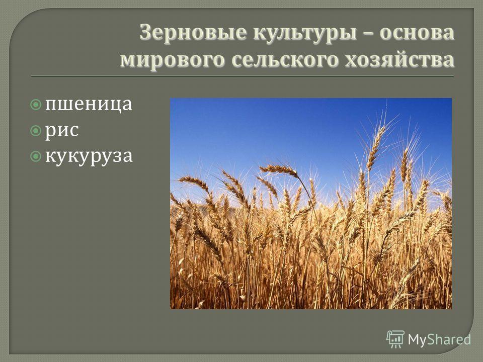 пшеница рис кукуруза