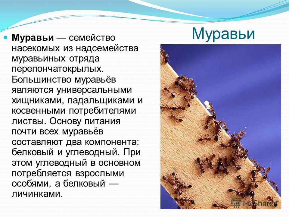 Белка Бе́лки род грызунов семейства беличьих. Белки питаются почками деревьев, в частности серебристого клёна.беличьих