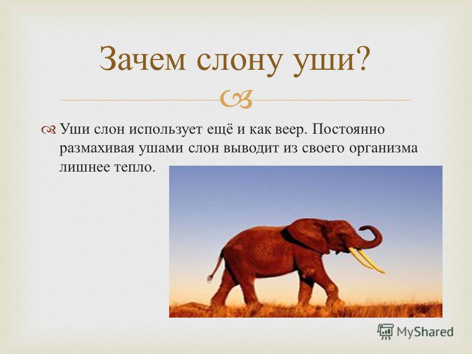 Уши слон использует ещё и как веер. Постоянно размахивая ушами слон выводит из своего организма лишнее тепло. Зачем слону уши ?