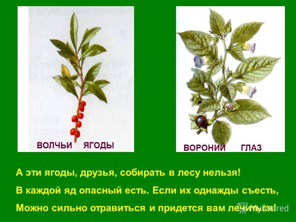 ВОРОНИЙ ГЛАЗ ВОЛЧЬИ ЯГОДЫ А эти ягоды, друзья, собирать в лесу нельзя! В каждой яд опасный есть. Если их однажды съесть, Можно сильно отравиться и придется вам лечиться!