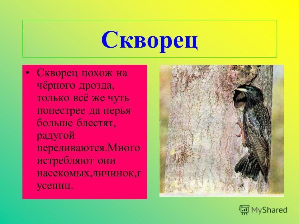 Скворец Скворец похож на чёрного дрозда, только всё же чуть попестрее да перья больше блестят, радугой переливаются.Много истребляют они насекомых,личинок,г усениц.