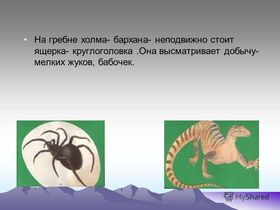 На гребне холма- бархана- неподвижно стоит ящерка- круглоголовка.Она высматривает добычу- мелких жуков, бабочек.