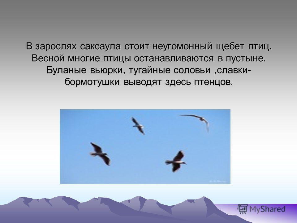 В зарослях саксаула стоит неугомонный щебет птиц. Весной многие птицы останавливаются в пустыне. Буланые вьюрки, тугайные соловьи,славки- бормотушки выводят здесь птенцов.