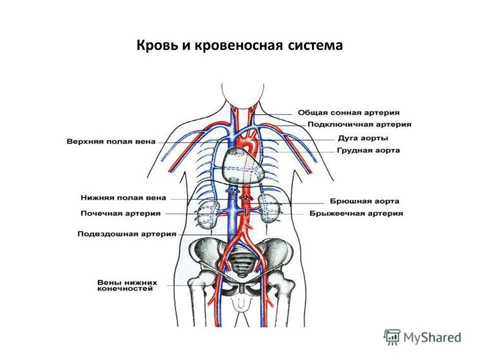 Кровь и кровеносная система