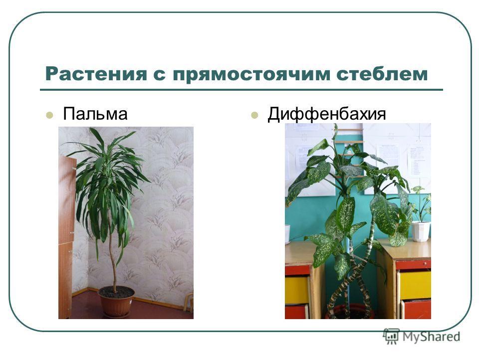 Растения с прямостоячим стеблем Пальма Диффенбахия