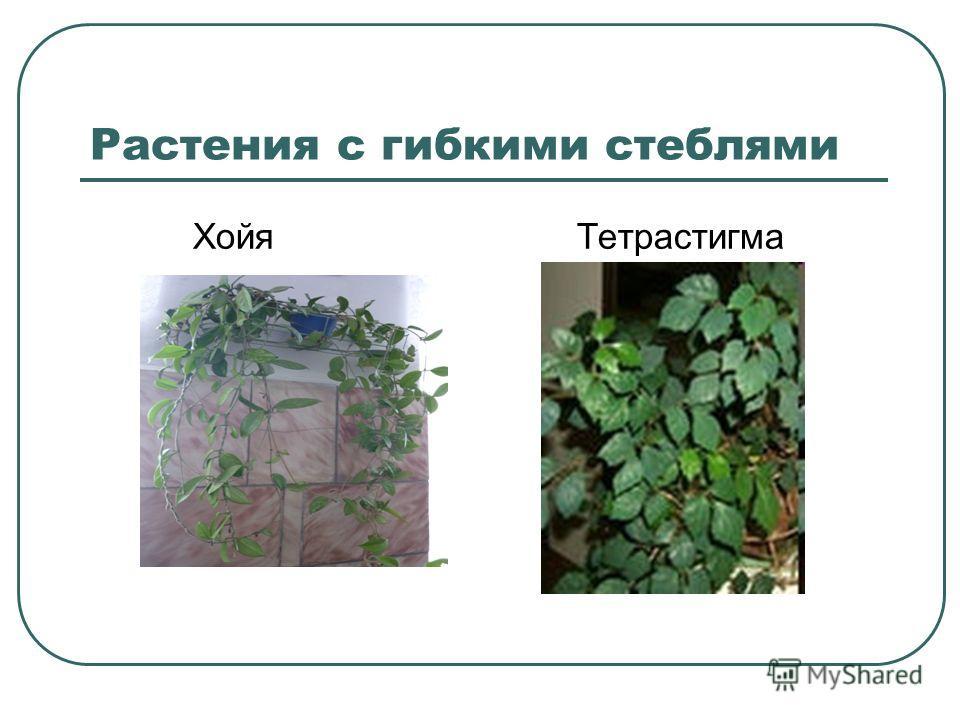 Растения с гибкими стеблями ХойяТетрастигма