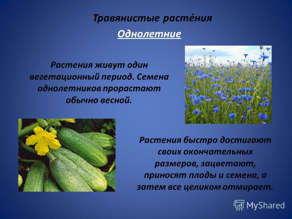 Травянистые расте́ния Растения живут один вегетационный период. Семена однолетников прорастают обычно весной. Растения быстро достигают своих окончательных размеров, зацветают, приносят плоды и семена, а затем все целиком отмирает. Однолетние