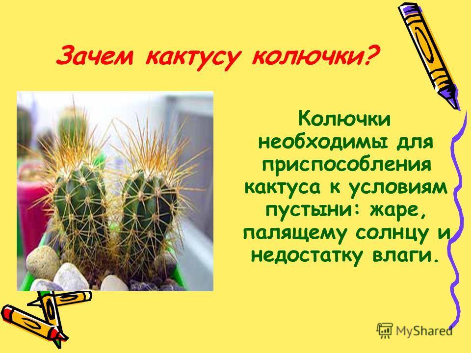 Зачем кактусу колючки? Колючки необходимы для приспособления кактуса к условиям пустыни: жаре, палящему солнцу и недостатку влаги.