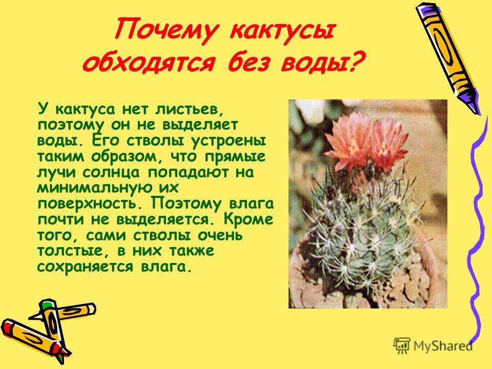 Почему кактусы обходятся без воды? У кактуса нет листьев, поэтому он не выделяет воды. Его стволы устроены таким образом, что прямые лучи солнца попадают на минимальную их поверхность. Поэтому влага почти не выделяется. Кроме того, сами стволы очень