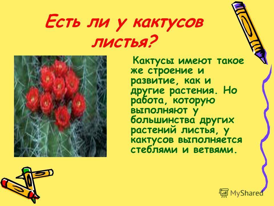 Есть ли у кактусов листья? Кактусы имеют такое же строение и развитие, как и другие растения. Но работа, которую выполняют у большинства других растений листья, у кактусов выполняется стеблями и ветвями.