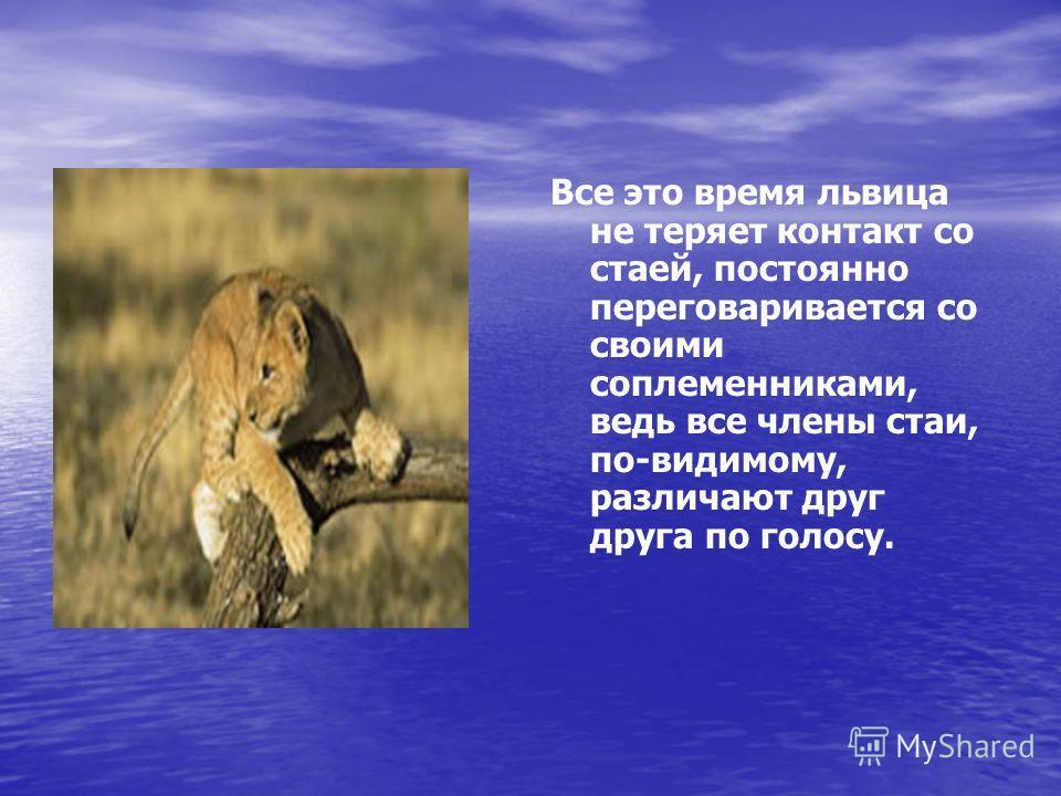 Все это время львица не теряет контакт со стаей, постоянно переговаривается со своими соплеменниками, ведь все члены стаи, по-видимому, различают друг друга по голосу.