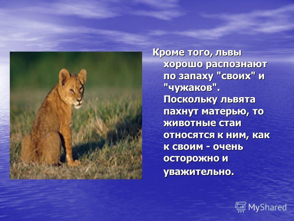 Кроме того, львы хорошо распознают по запаху своих и чужаков. Поскольку львята пахнут матерью, то животные стаи относятся к ним, как к своим - очень осторожно и уважительно.