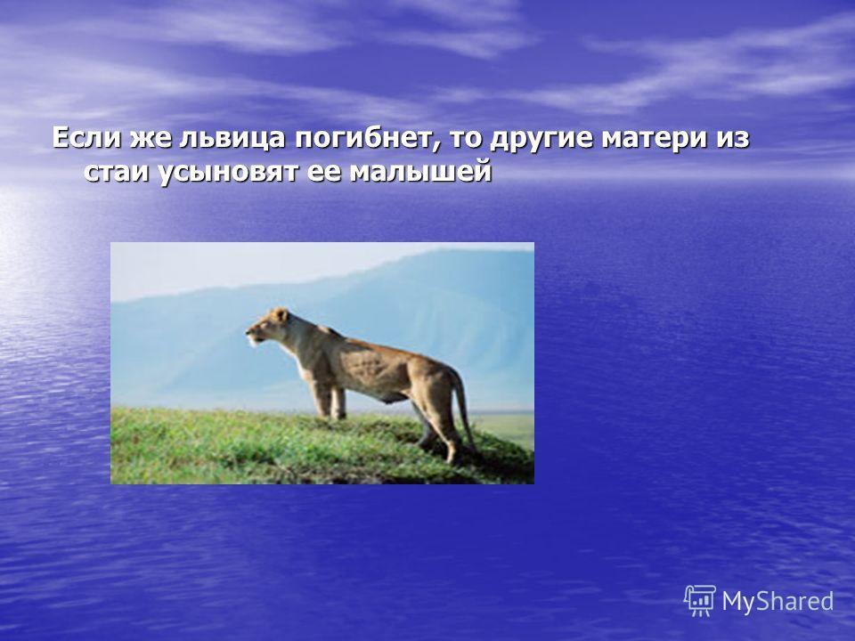 Если же львица погибнет, то другие матери из стаи усыновят ее малышей