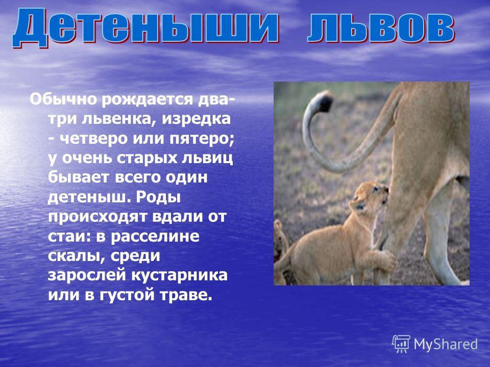 Обычно рождается два- три львенка, изредка - четверо или пятеро; у очень старых львиц бывает всего один детеныш. Роды происходят вдали от стаи: в расселине скалы, среди зарослей кустарника или в густой траве.