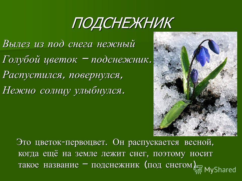 ПОДСНЕЖНИК Вылез из под снега нежный Голубой цветок – подснежник. Распустился, повернулся, Нежно солнцу улыбнулся. Это цветок - первоцвет. Он распускается весной, когда ещё на земле лежит снег, поэтому носит такое название – подснежник ( под снегом )