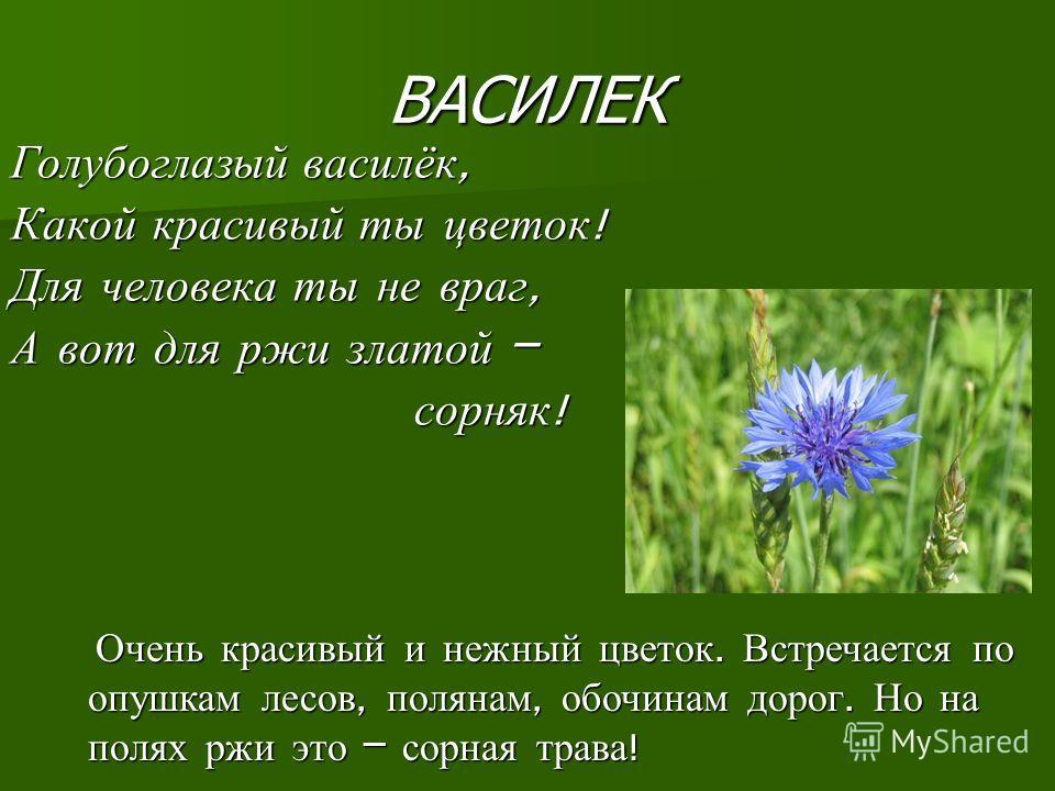 ВАСИЛЕК Голубоглазый василёк, Какой красивый ты цветок ! Для человека ты не враг, А вот для ржи златой – сорняк ! сорняк ! Очень красивый и нежный цветок. Встречается по опушкам лесов, полянам, обочинам дорог. Но на полях ржи это – сорная трава ! Оче