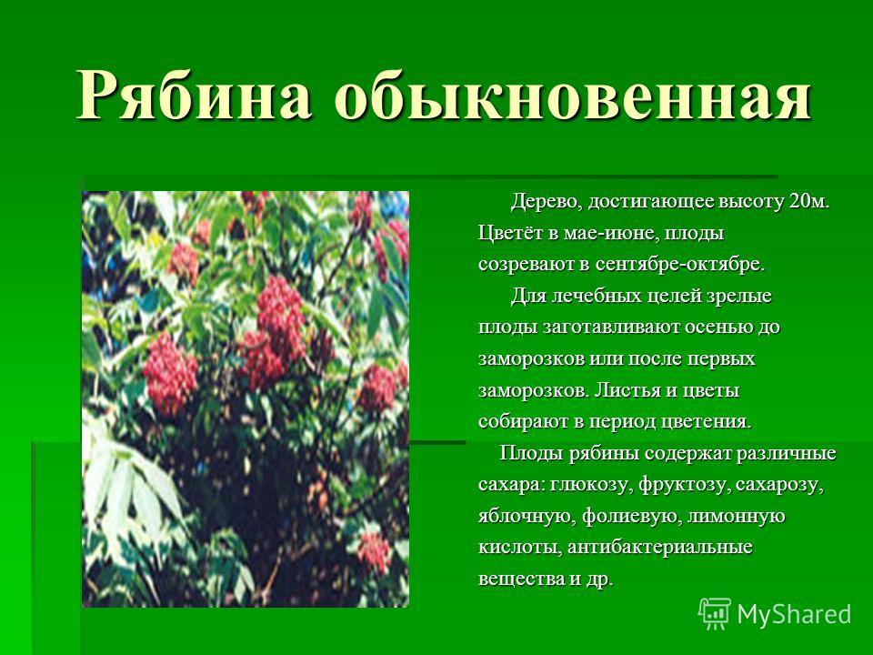 Рябина обыкновенная Дерево, достигающее высоту 20м. Цветёт в мае-июне, плоды созревают в сентябре-октябре. Для лечебных целей зрелые плоды заготавливают осенью до заморозков или после первых заморозков. Листья и цветы собирают в период цветения. Плод