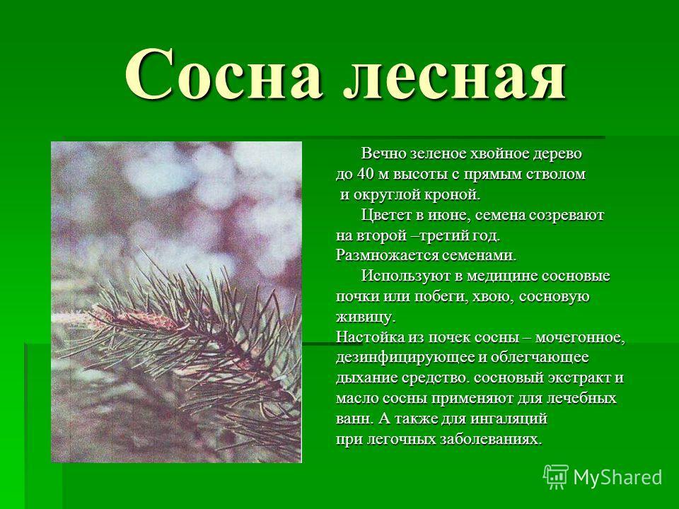 Сосна лесная Вечно зеленое хвойное дерево до 40 м высоты с прямым стволом и округлой кроной. и округлой кроной. Цветет в июне, семена созревают на второй –третий год. Размножается семенами. Используют в медицине сосновые почки или побеги, хвою, сосно