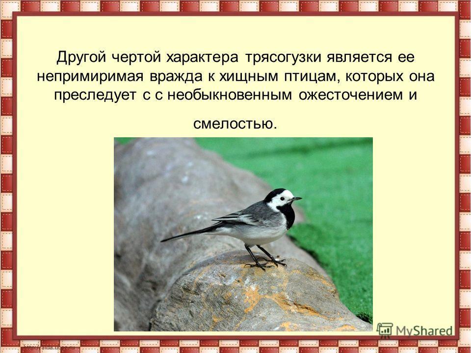 Другой чертой характера трясогузки является ее непримиримая вражда к хищным птицам, которых она преследует с с необыкновенным ожесточением и смелостью.