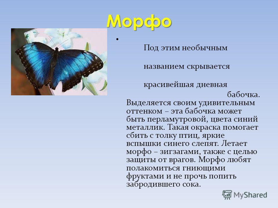 Морфо Под этим необычным названием скрывается красивейшая дневная бабочка. Выделяется своим удивительным оттенком – эта бабочка может быть перламутровой, цвета синий металлик. Такая окраска помогает сбить с толку птиц, яркие вспышки синего слепят. Ле