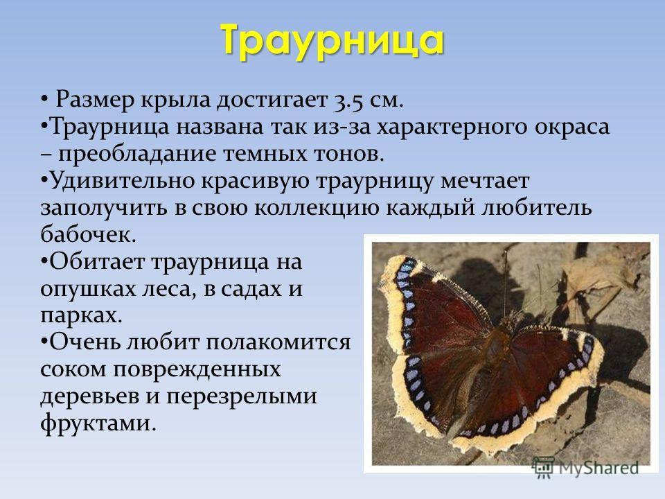 Траурница Размер крыла достигает 3.5 см. Траурница названа так из-за характерного окраса – преобладание темных тонов. Удивительно красивую траурницу мечтает заполучить в свою коллекцию каждый любитель бабочек. Обитает траурница на опушках леса, в сад