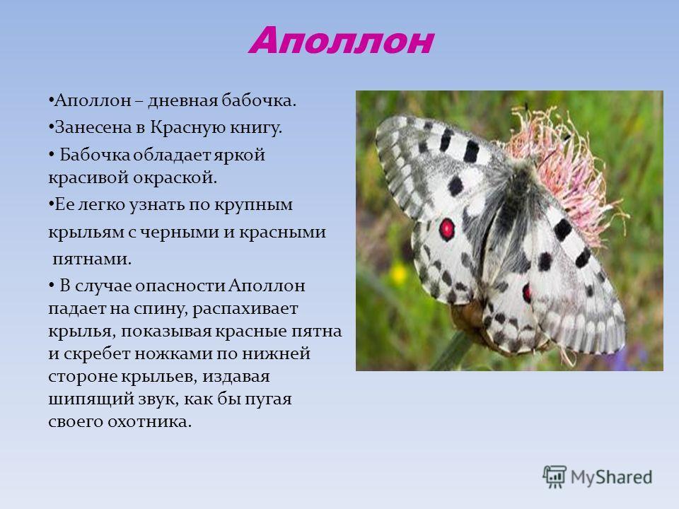 Аполлон Аполлон – дневная бабочка. Занесена в Красную книгу. Бабочка обладает яркой красивой окраской. Ее легко узнать по крупным крыльям с черными и красными пятнами. В случае опасности Аполлон падает на спину, распахивает крылья, показывая красные