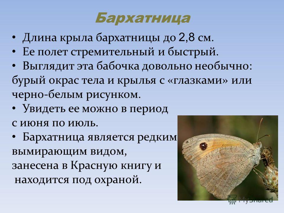 Бархатница Длина крыла бархатницы до 2,8 см. Ее полет стремительный и быстрый. Выглядит эта бабочка довольно необычно: бурый окрас тела и крылья с «глазками» или черно-белым рисунком. Увидеть ее можно в период с июня по июль. Бархатница является редк