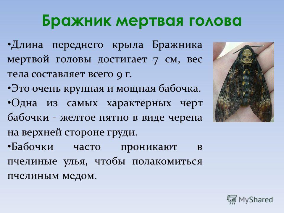 Бражник мертвая голова Длина переднего крыла Бражника мертвой головы достигает 7 см, вес тела составляет всего 9 г. Это очень крупная и мощная бабочка. Одна из самых характерных черт бабочки - желтое пятно в виде черепа на верхней стороне груди. Бабо