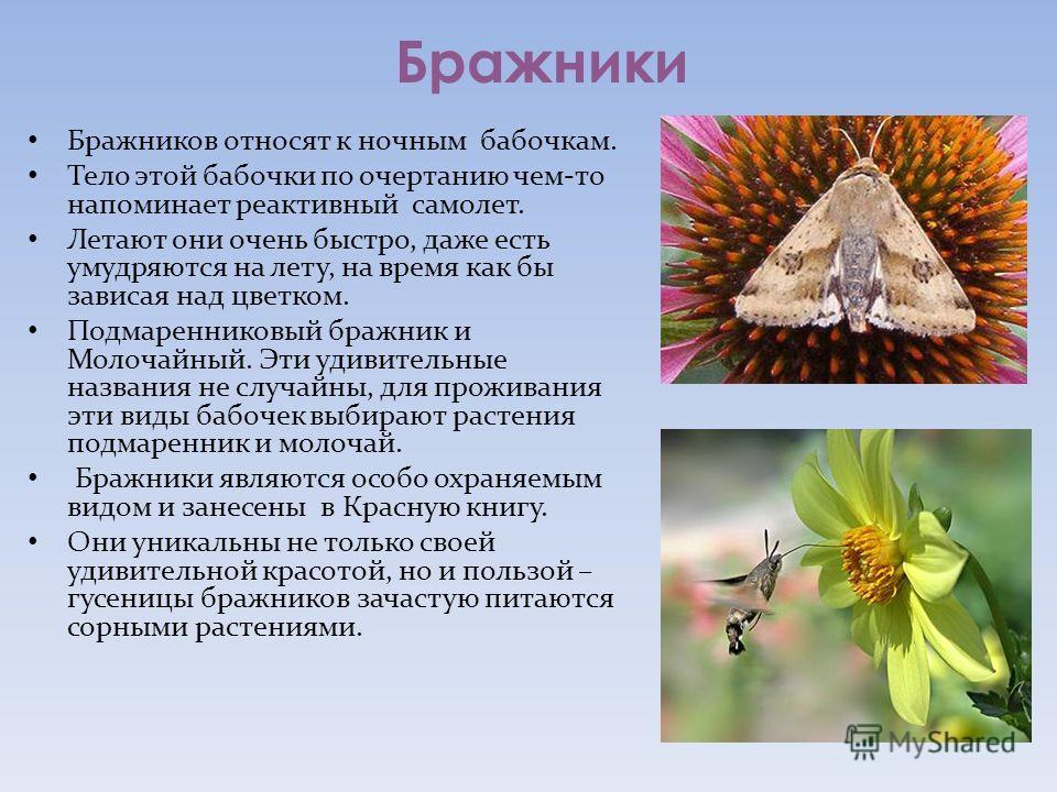 Бражники Бражников относят к ночным бабочкам. Тело этой бабочки по очертанию чем-то напоминает реактивный самолет. Летают они очень быстро, даже есть умудряются на лету, на время как бы зависая над цветком. Подмаренниковый бражник и Молочайный. Эти у