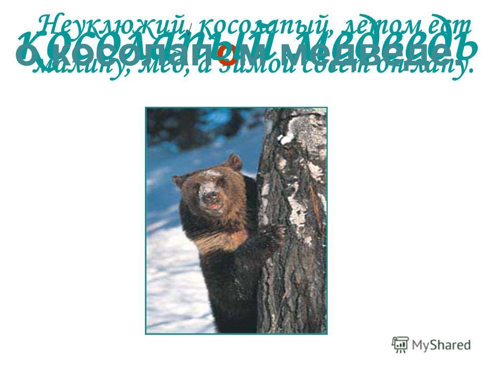 Неуклюжий, косолапый, летом ест малину, мёд, а зимой сосёт он лапу. о косолапый медведь о косолап м медведе.
