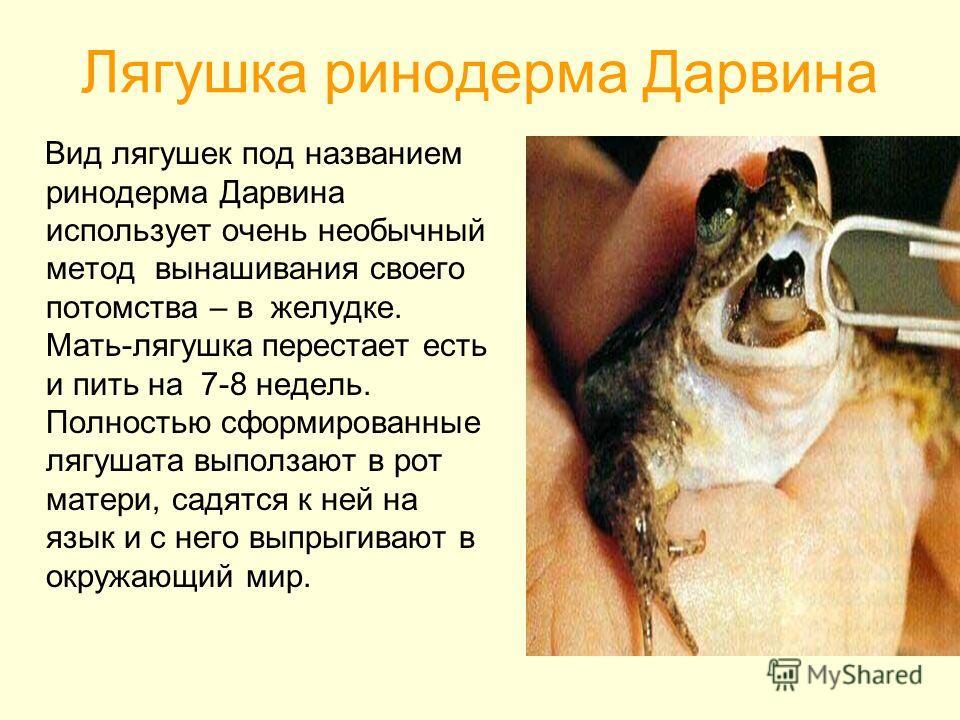 Лягушка ринодерма Дарвина Вид лягушек под названием ринодерма Дарвина использует очень необычный метод вынашивания своего потомства – в желудке. Мать-лягушка перестает есть и пить на 7-8 недель. Полностью сформированные лягушата выползают в рот матер
