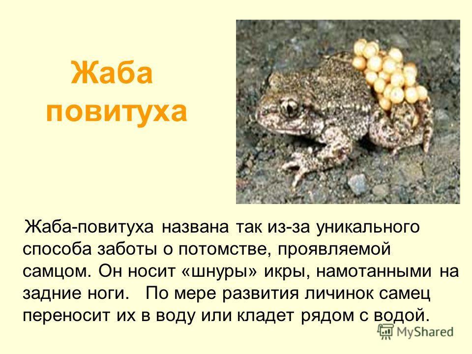 Жаба повитуха Жаба-повитуха названа так из-за уникального способа заботы о потомстве, проявляемой самцом. Он носит «шнуры» икры, намотанными на задние ноги. По мере развития личинок самец переносит их в воду или кладет рядом с водой.