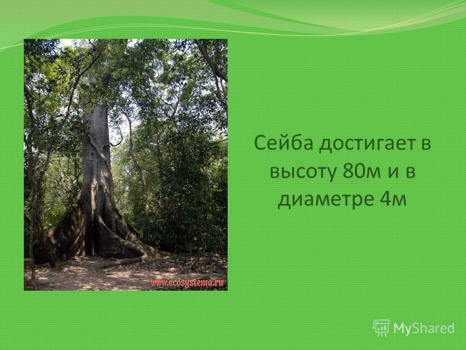 Сейба достигает в высоту 80м и в диаметре 4м