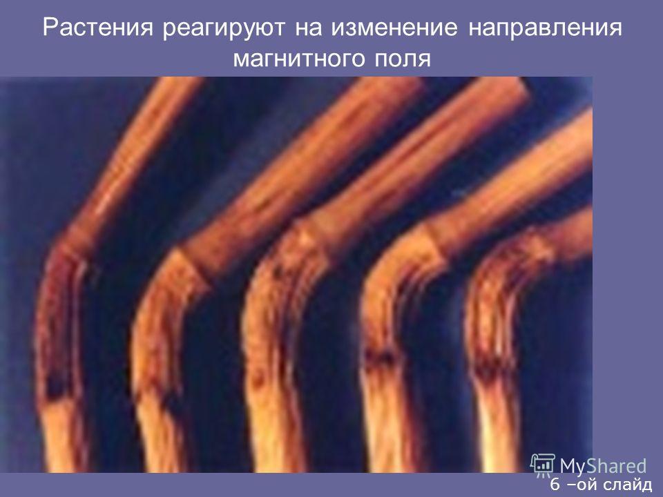 Растения реагируют на изменение направления магнитного поля 6 –ой слайд
