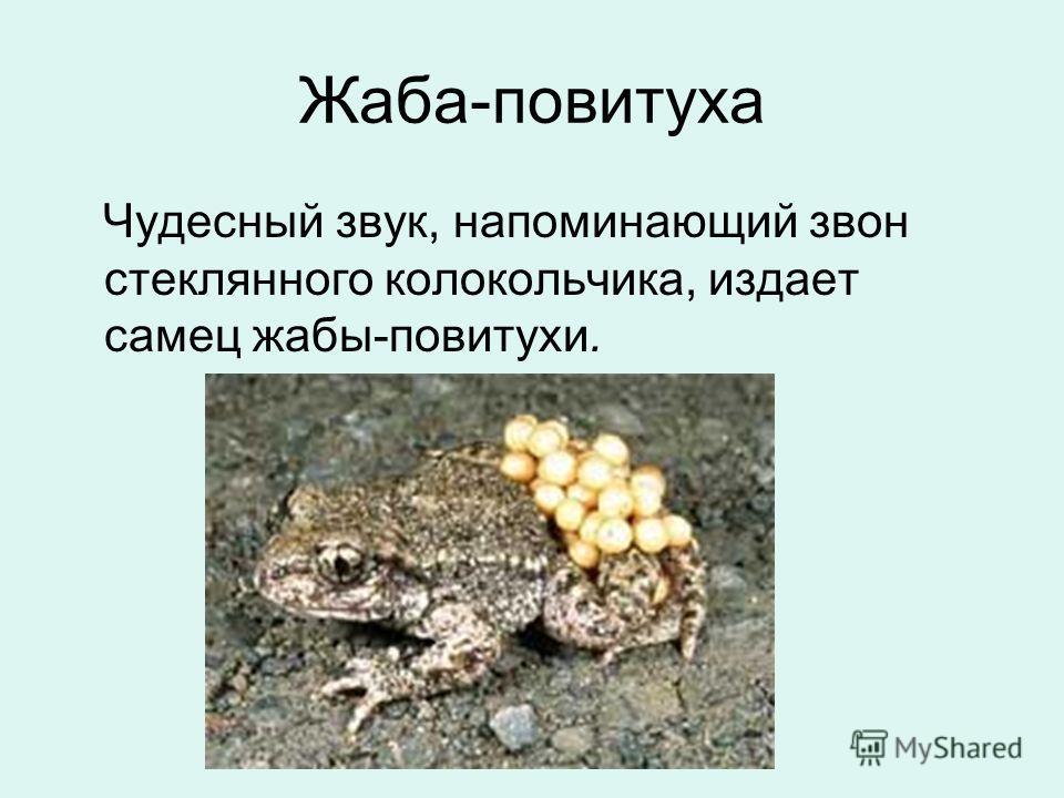 Жаба-повитуха Чудесный звук, напоминающий звон стеклянного колокольчика, издает самец жабы-повитухи.