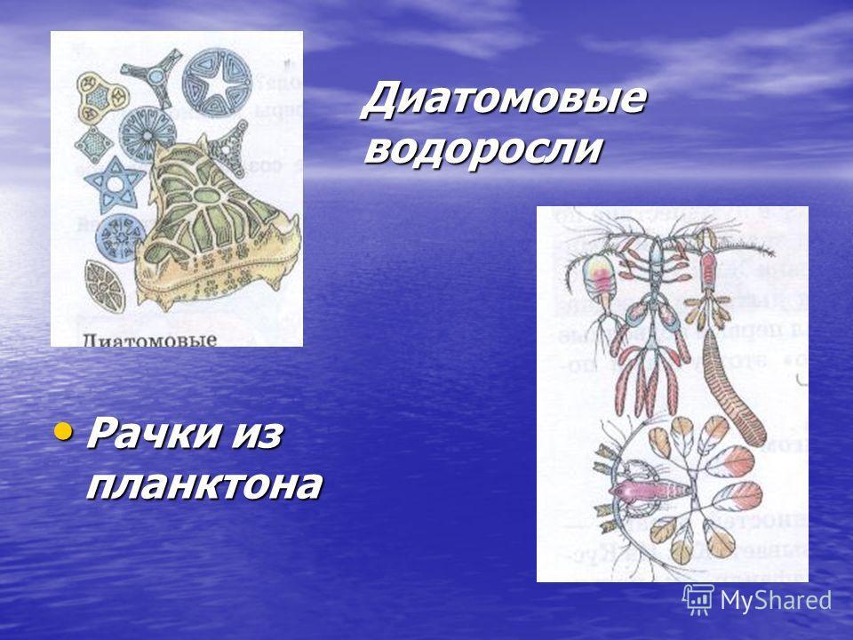 Диатомовые водоросли Рачки из планктона Рачки из планктона