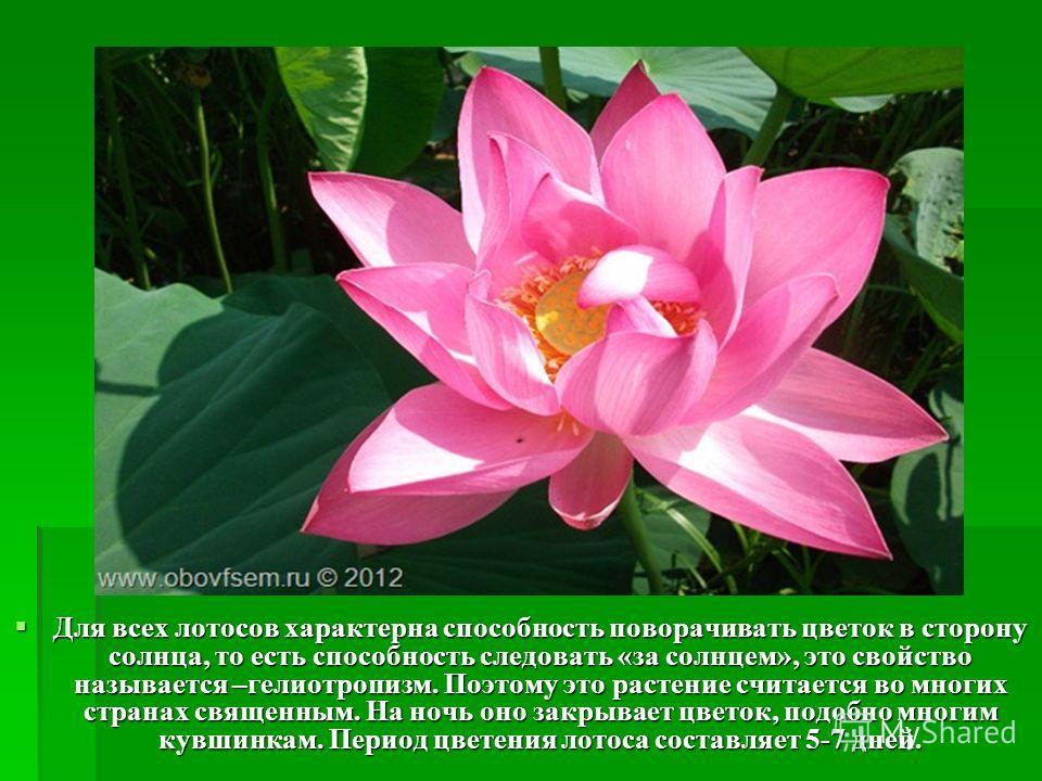 Для всех лотосов характерна способность поворачивать цветок в сторону солнца, то есть способность следовать «за солнцем», это свойство называется –гелиотропизм. Поэтому это растение считается во многих странах священным. На ночь оно закрывает цветок,