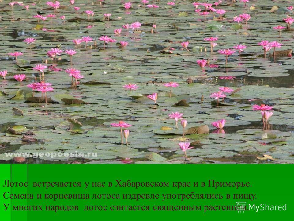 Лотос встречается у нас в Хабаровском крае и в Приморье. Семена и корневища лотоса издревле употреблялись в пищу. У многих народов лотос считается священным растением.