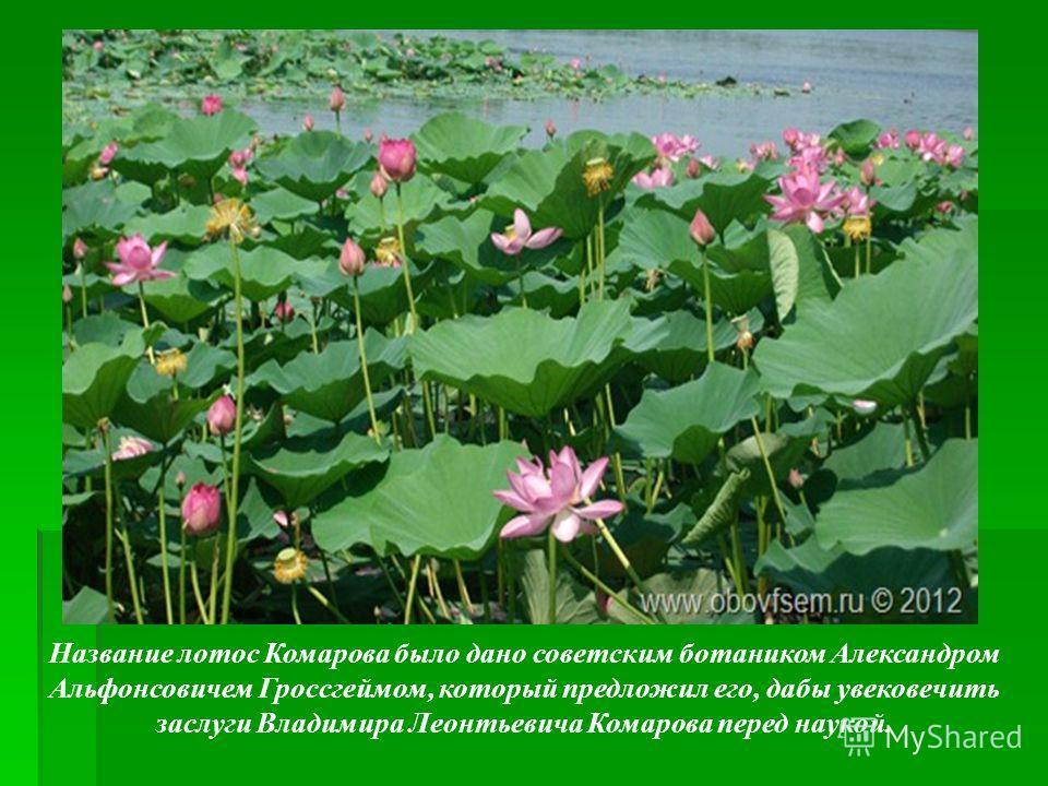 Название лотос Комарова было дано советским ботаником Александром Альфонсовичем Гроссгеймом, который предложил его, дабы увековечить заслуги Владимира Леонтьевича Комарова перед наукой.