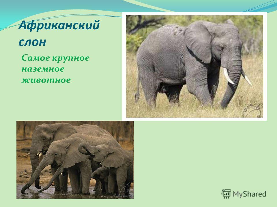 Африканский слон Самое крупное наземное животное