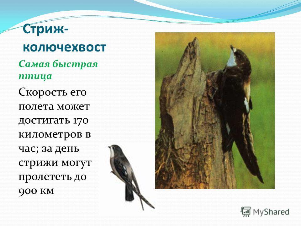 Стриж- колючехвост Самая быстрая птица Скорость его полета может достигать 170 километров в час; за день стрижи могут пролететь до 900 км