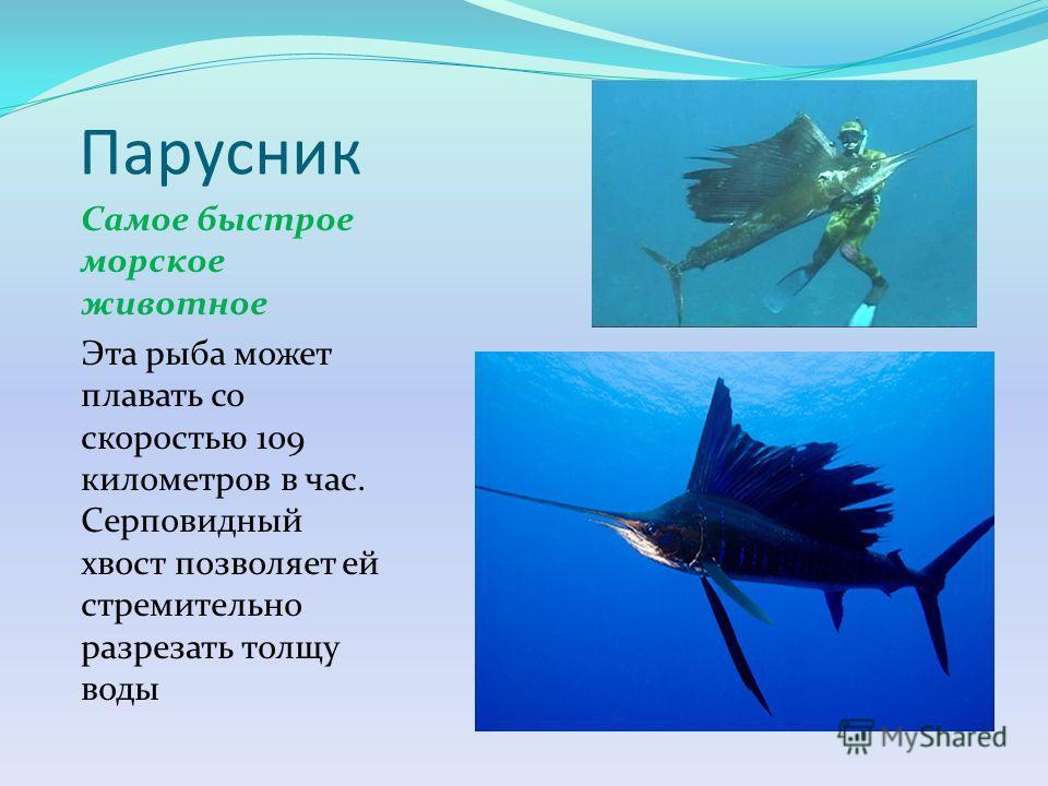 Парусник Самое быстрое морское животное Эта рыба может плавать со скоростью 109 километров в час. Серповидный хвост позволяет ей стремительно разрезать толщу воды