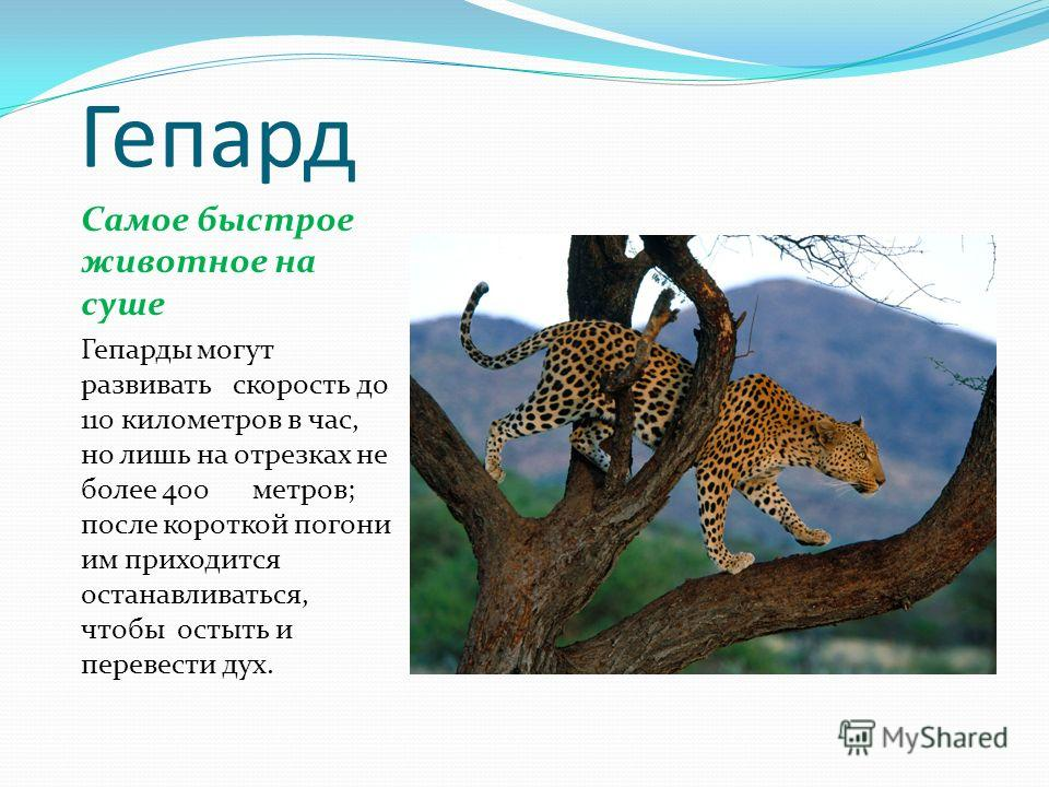 Гепард Самое быстрое животное на суше Гепарды могут развивать скорость до 110 километров в час, но лишь на отрезках не более 400 метров; после короткой погони им приходится останавливаться, чтобы остыть и перевести дух.