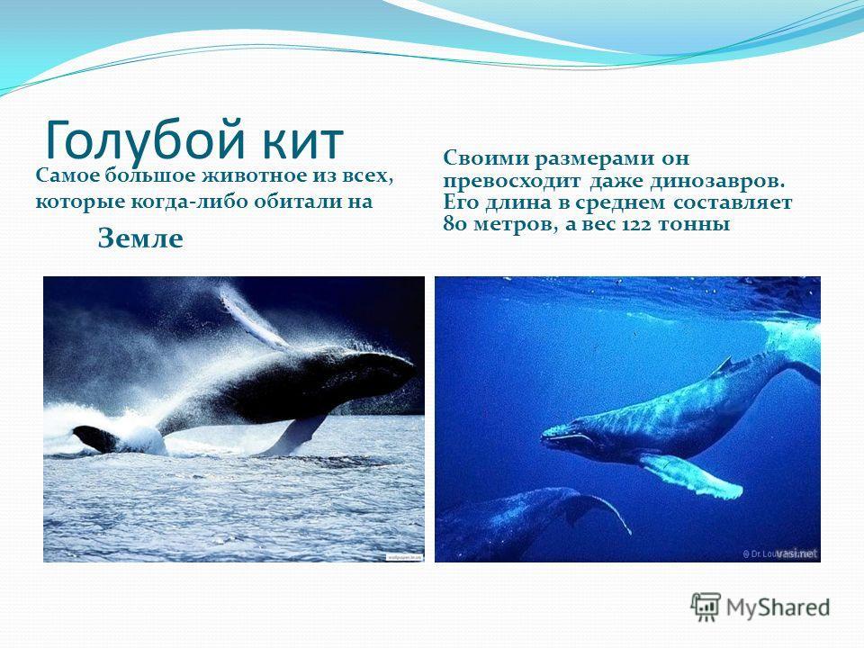 Голубой кит Самое большое животное из всех, которые когда-либо обитали на Земле Своими размерами он превосходит даже динозавров. Его длина в среднем составляет 80 метров, а вес 122 тонны