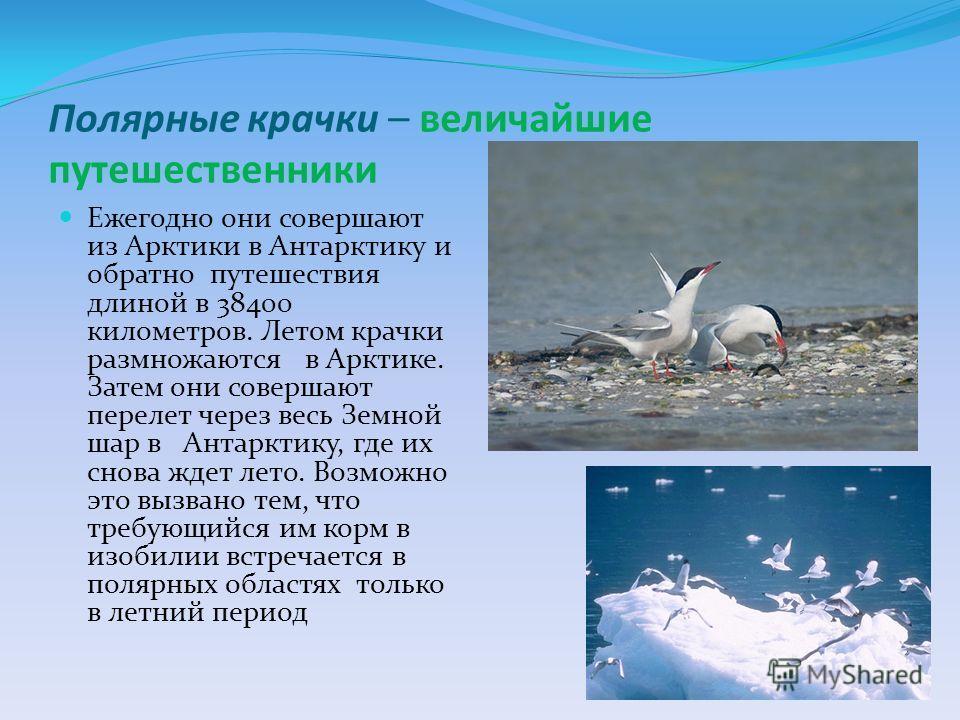 Полярные крачки – величайшие путешественники Ежегодно они совершают из Арктики в Антарктику и обратно путешествия длиной в 38400 километров. Летом крачки размножаются в Арктике. Затем они совершают перелет через весь Земной шар в Антарктику, где их с