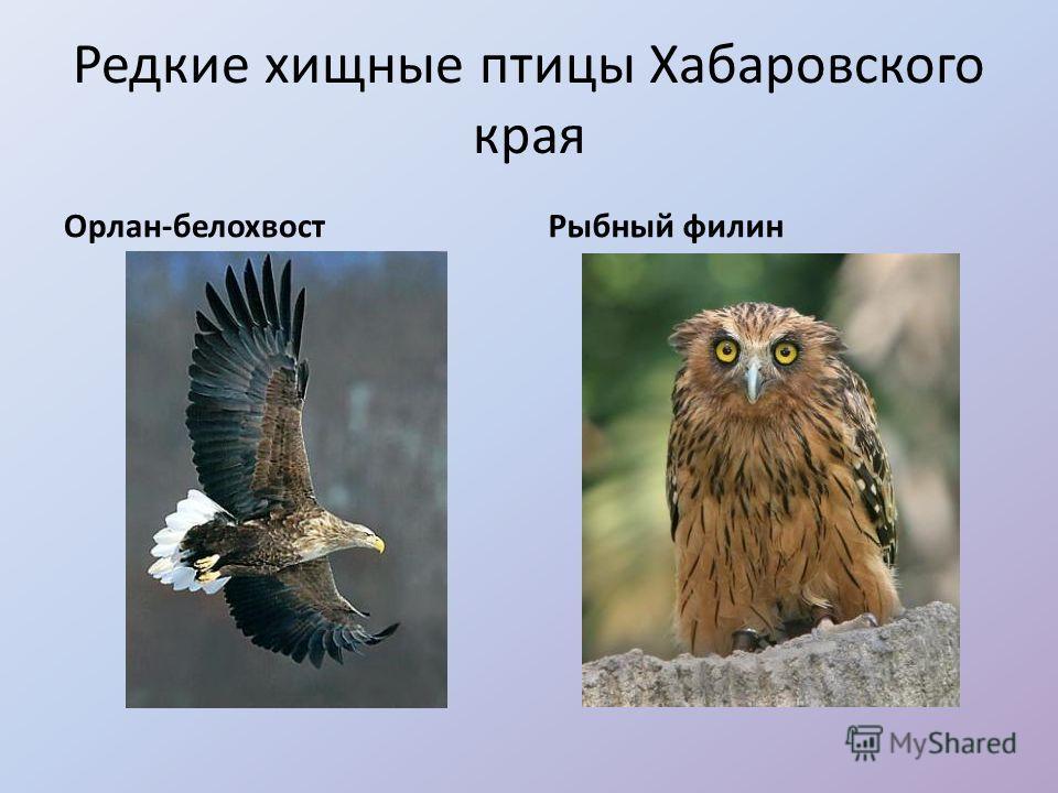 Редкие хищные птицы Хабаровского края Орлан-белохвостРыбный филин