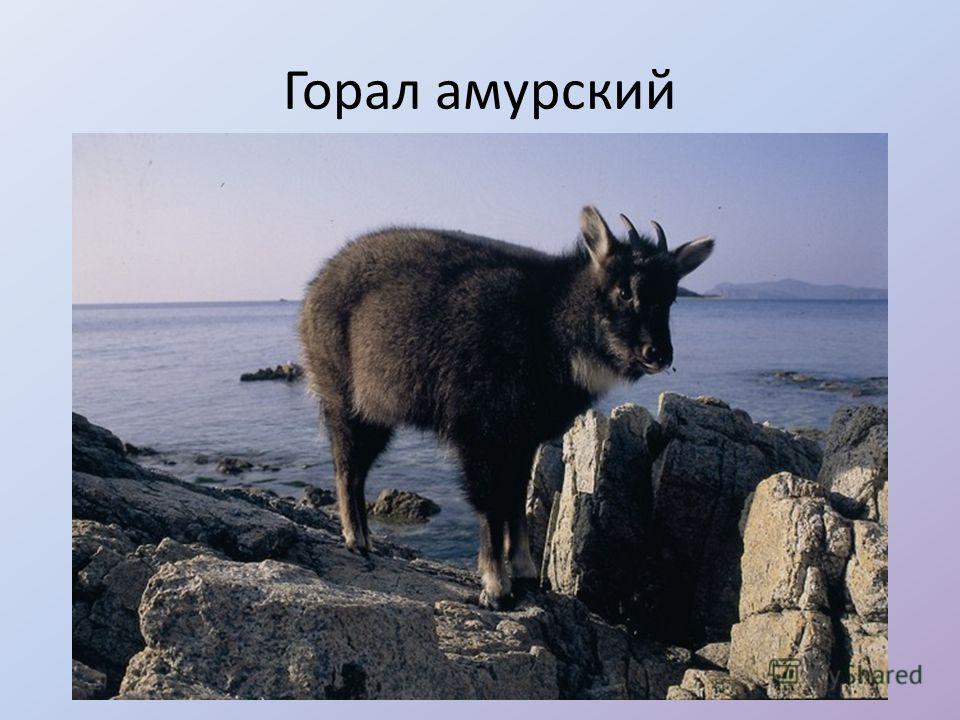 Горал амурский