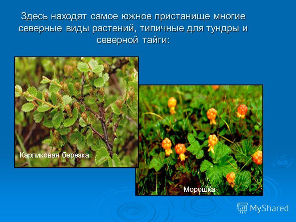 Здесь находят самое южное пристанище многие северные виды растений, типичные для тундры и северной тайги: Карликовая березка Морошка