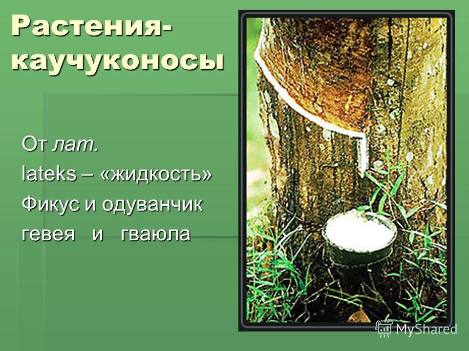 Растения- каучуконосы От лат. lateks – «жидкость» Фикус и одуванчик гевея и гваюла