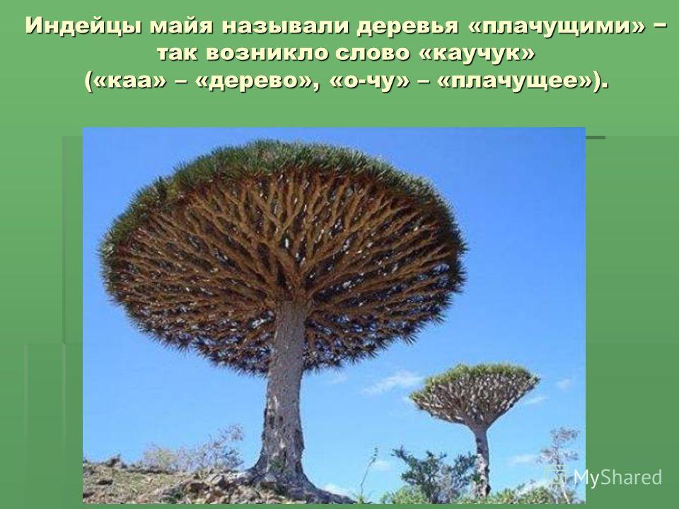 Индейцы майя называли деревья «плачущими» так возникло слово «каучук» («каа» – «дерево», «о-чу» – «плачущее»).
